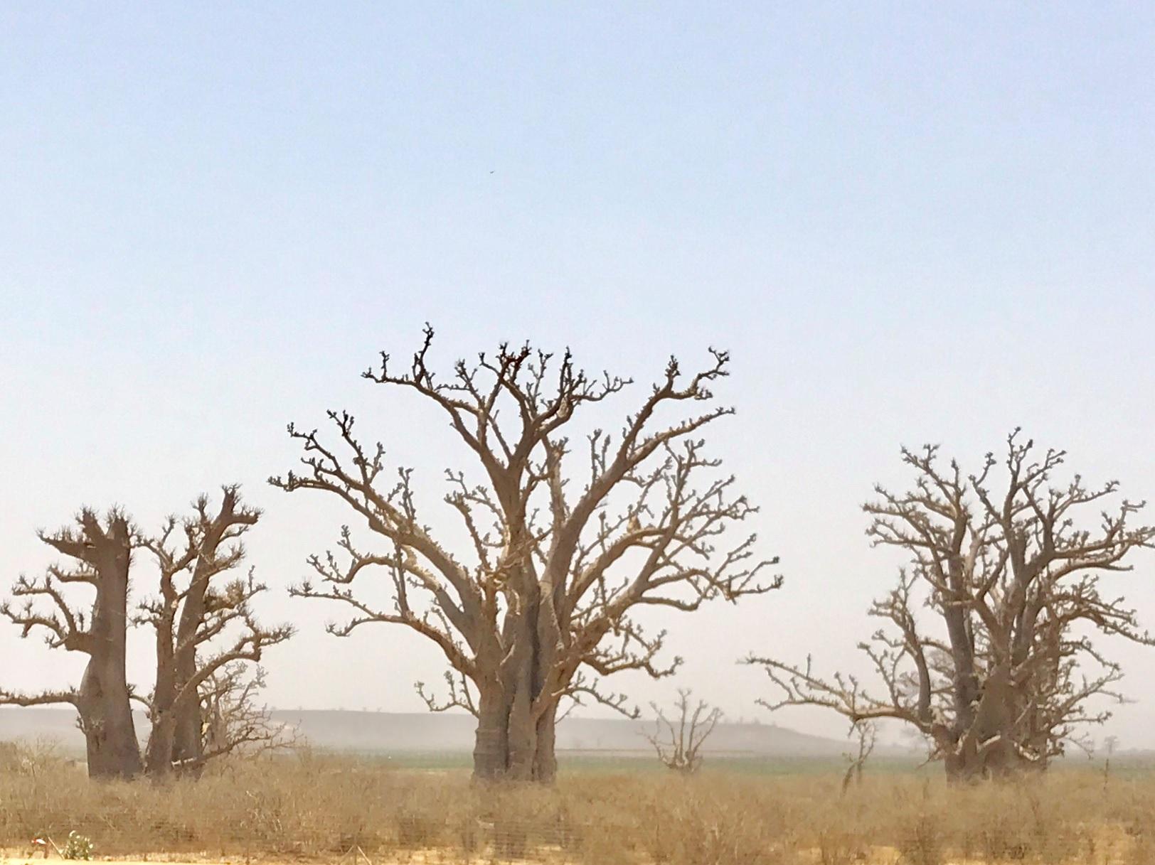 El naturalista Lázaro Sánchez-Pinto hablará sobre los baobabs este jueves en el MUNA